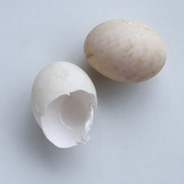 Why does nobody eat duck eggs anymore?