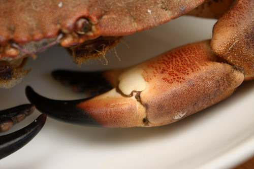 How to humanely kill and cook a live crab