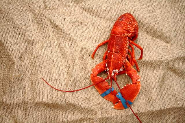 How to kill and cook a lobster